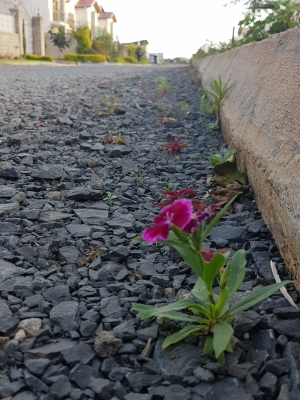 Against all odds, a flower blossomed between the stones and the hard rock.